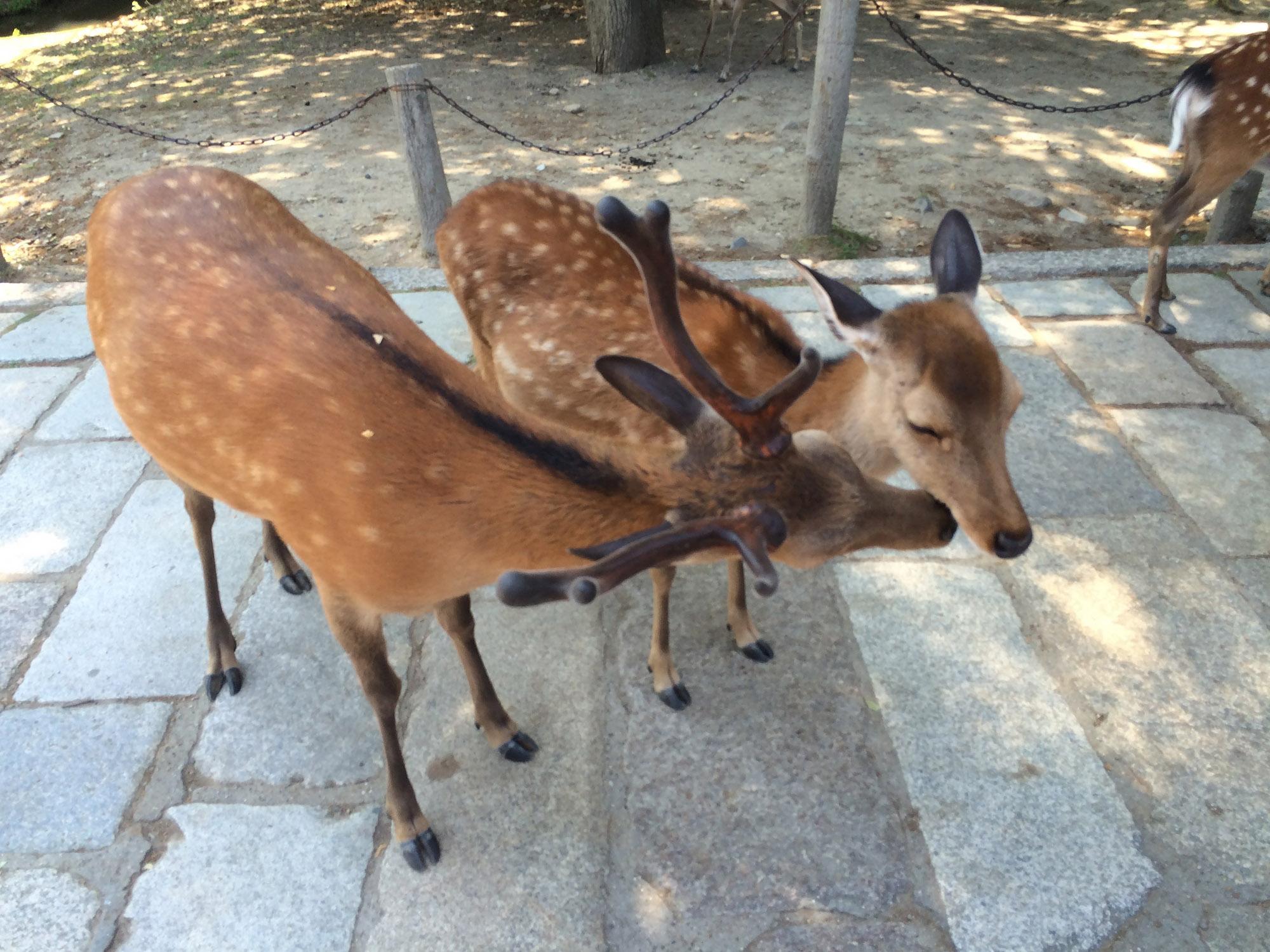 奈良公園商店街的鹿