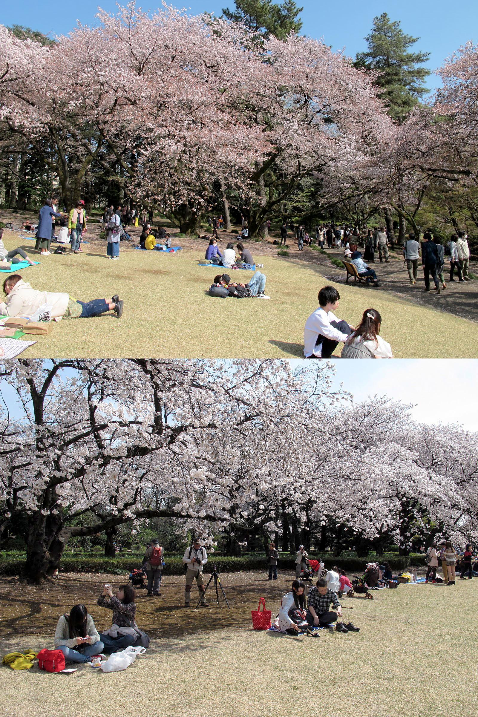 櫻花樹下休息