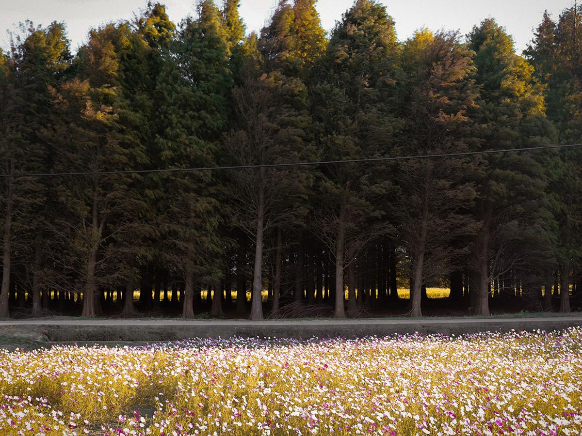 桃園八德落羽松和波斯菊1