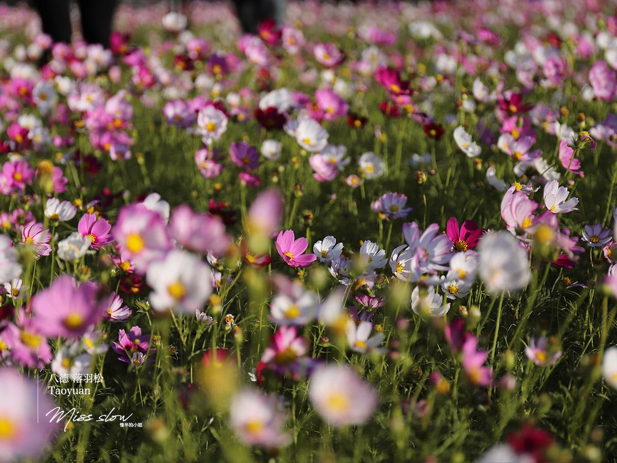 桃園八德落羽松的波斯菊1