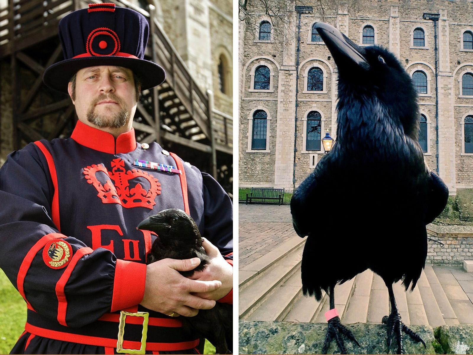 倫敦塔The Tower of London的必看重點有哪些?倫敦塔的可愛吉祥物Raven渡鴉