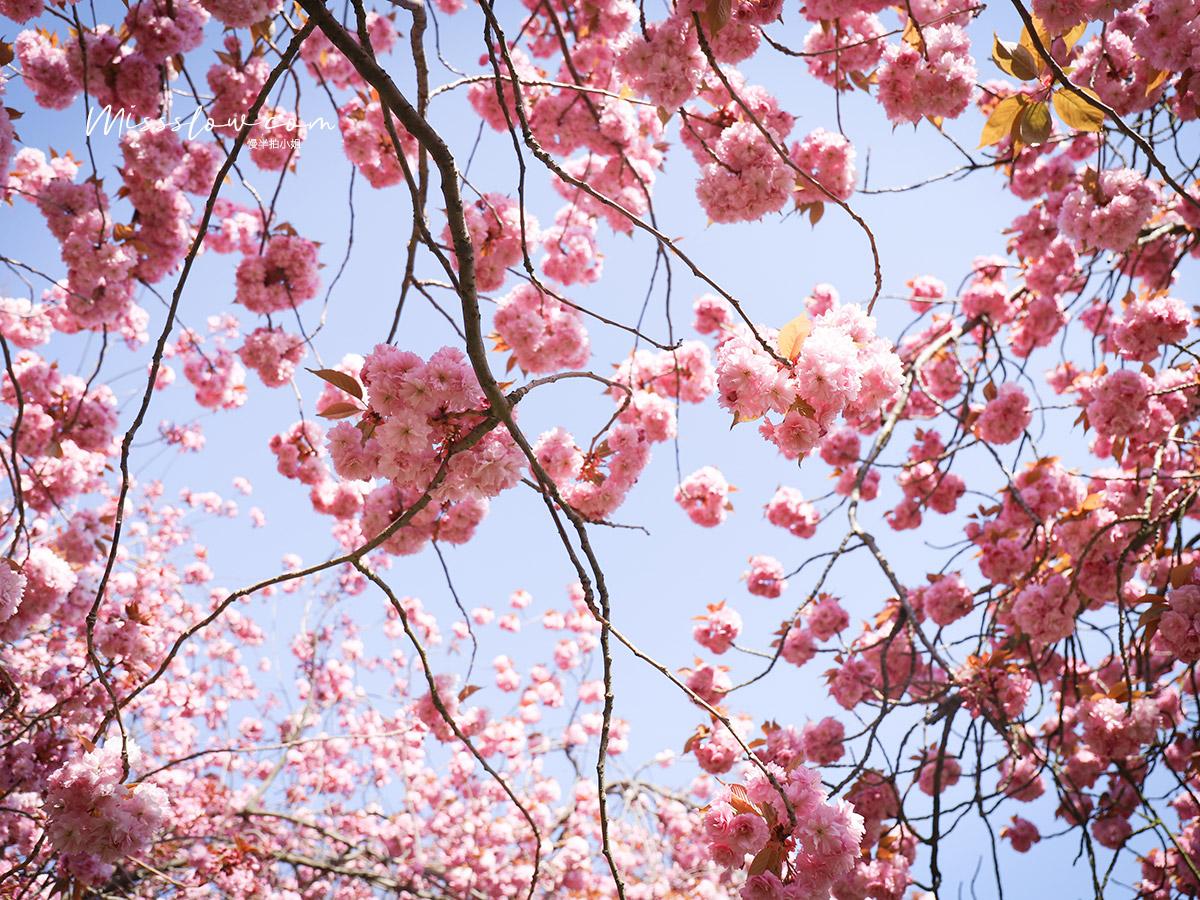 格林威治 公園Greenwich Park 每年3-4月是這裡的櫻花季