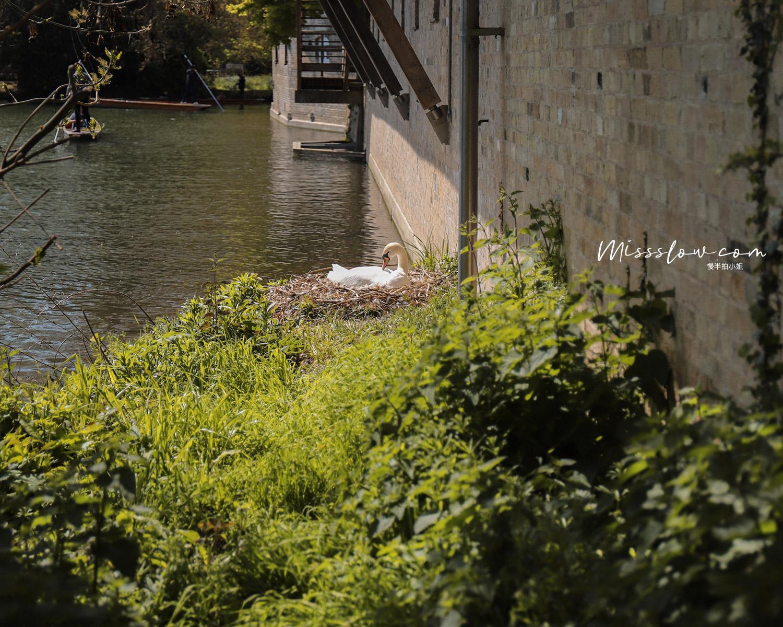 劍橋撐篙的河畔旁天鵝